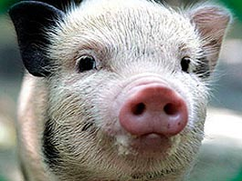 В России разрешили пересаживать людям свиные клетки