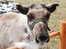 В Ижевском зоопарке олень Яша сбросил рога