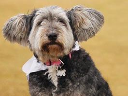 У собаки нашли редкое заболевание: она страдает от радости