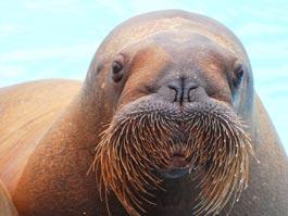 Ижевский зоопарк предлагает купить рисунки … моржей
