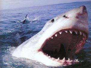 Из-за акул пляжи Сиднея объявлены зоной повышенной опасности