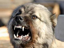 В Омске школьницу растерзали бродячие собаки