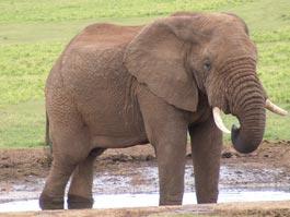 В Таиланде туристку растоптал слон