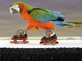 Звездой циркового фестиваля в Праге стал попугай на роликах