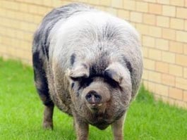 Австралийской свинье сделают пластическую операцию