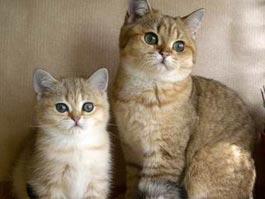 В Ижевске выберут лучшую кошку