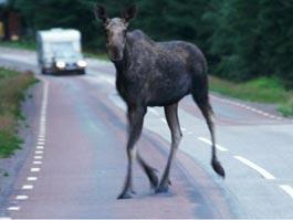 Под Ижевском легковушка протаранила лося, погиб пассажир