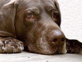 В Германии ввели «водительские права» на выгул собак