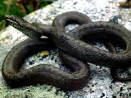 В Удмуртии в квартиру заползла полутораметровая змея