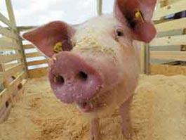 ФАС: Власти Удмуртии незаконно запретили ввозить нижегородскую свинину