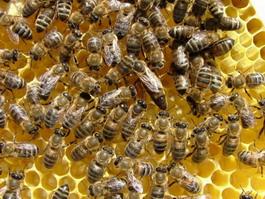 Из-за карантина на пасеках мед в Удмуртии может подорожать?