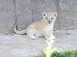 В Ижевском зоопарке родились львята
