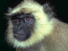 В лесу Удмуртии поймали агрессивную зеленую мартышку