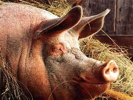 В Краснодарском крае свиньи массово мрут от африканской чумы