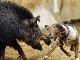 В 400 тысяч обойдется удмуртским браконьерам охота на кабана