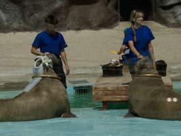 Моржи ижевского зоопарка нарисуют российский флаг