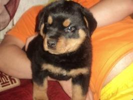 В Ижевске участковый вернул 8-летней девочке похищенного щенка