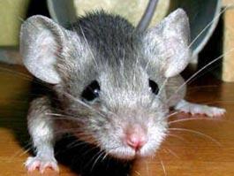 В Удмуртии два человека скончались от «мышиной» лихорадки