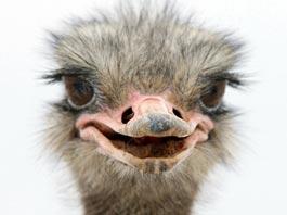 По столице Камчатки бегает «глупый» страус-альбинос