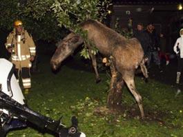 В Швеции с яблони сняли пьяного лося
