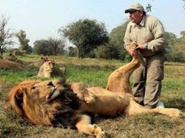 В ЮАР льву делают маникюр и укладывают шерсть с помощью лака