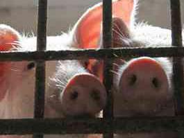 Этим летом Удмуртию едва не настигла свиная чума