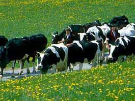 Коровы сбежали из Ростовской области в Калмыкию