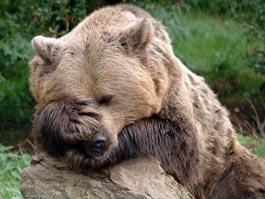 Любопытный американский медведь угнал машину