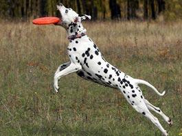 В Ижевске пройдут соревнования среди собак по ловле тарелок