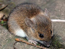 В Ижевске назвали садоогороды, где можно заразиться мышиной лихорадкой