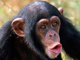 В Японии мартышкам показали фильм «Восстание планеты обезьян»