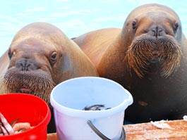Дети с Ямала пишут в ижевский зоопарк письма, чтобы узнать, как здоровье спасенного моржа