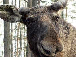 В США нервный лось упал в бассейн