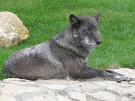 Юным ижевчанам расскажут, почему символом зоопарка стал волк