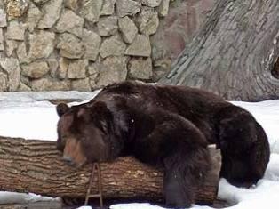 Медведи из ижевского зоопарка предсказали приближение зимы