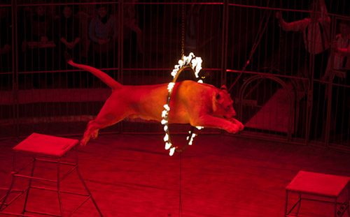 «Золото» циркового фестиваля в Ижевске взяли аттракционы со львами, гепардами и акробаты на подкидных досках
