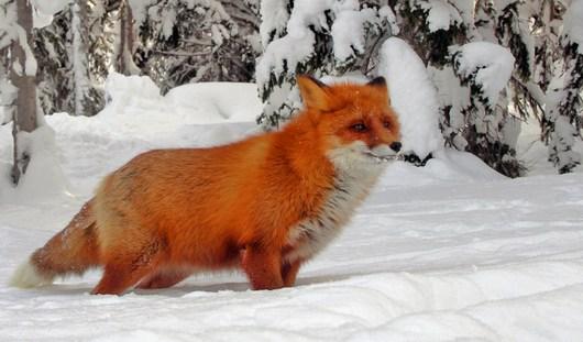 В Удмуртии уничтожат 1,5 тысяч лисиц