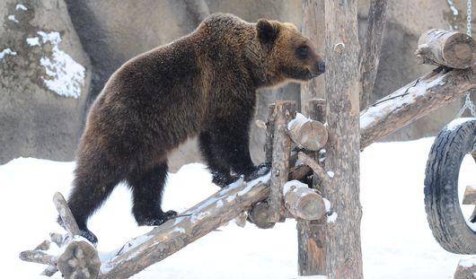 Весна идет: в ижевском зоопарке проснулись бурые медведи