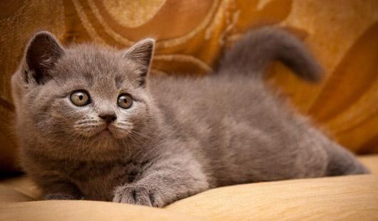 Котенок из Ижевска победил на международной выставке