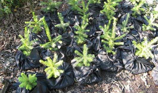 Лесники Удмуртии засадят молодыми деревцами более 3 тысяч гектаров площадей