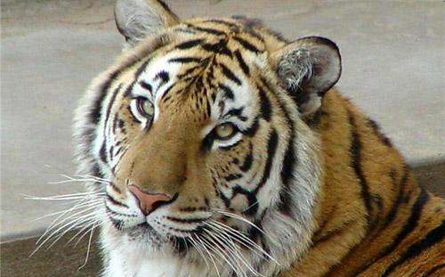 Тигрицу из зоопарка Ижевска увезли к жениху в Великобританию