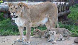 Три львенка и один олененок появились на свет в ижевском зоопарке