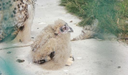 В ижевском зоопарке появился птенец филина