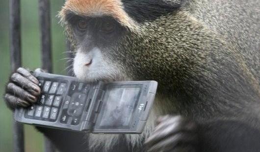 В краже телефона в Нижнем Новгороде подозревают обезьяну