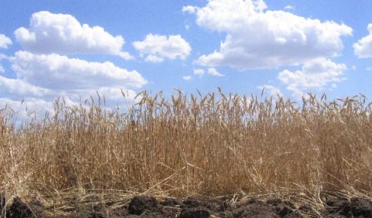 Ущерб от засухи в Удмуртии превысил 4 миллиарда рублей