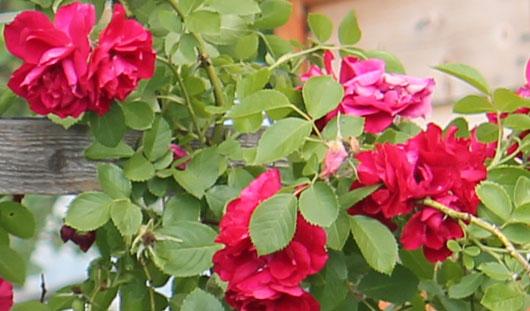 Ижевчанка Людмила Баева выращивает голландские розы и килограммовые помидоры