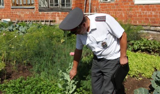 Полицейские Удмуртии собрали 105 кустов мака на садовом участке