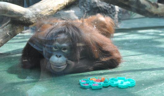 У орангутана Лолы из ижевского зоопарка появились игрушки