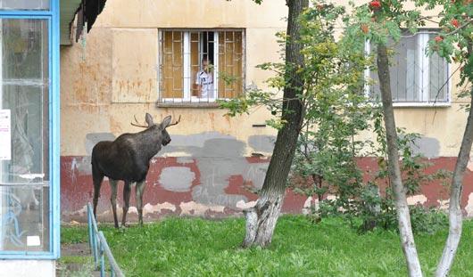 В Ижевске спасают лося: животное оставили ночевать на стоянке