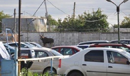 Лося, который случайно забрел в Ижевск, усыпили